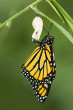 -monarch-butterfly-and-chrysalis